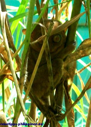 Tarsier in der Foundation bei Corella